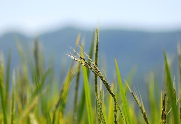 Governo precisa garantir renda aos arrozeiros do Brasil.